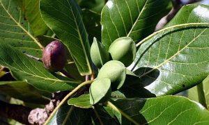 almond farmers in nigeria